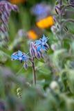 Borraja (officinalis del Borago) Imagen de archivo libre de regalías
