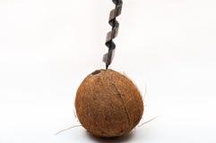 Borrande in i kokosnöten Arkivfoto