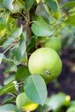 Borre a textura floral do fundo da mola do defocus - maçãs bonitas amarelas no ramo no jardim verde Foto de Stock
