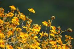 borrego anza Kalifornii pustyni kwiaty parkują dzikich wildflowers stanów Fotografia Stock