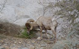 Borrego Big Horn Sheep Grazing. Big Horn Ram grazing in the Anza Borrego Desert Sate Park in California stock image