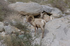 Borrego Big Horn Sheep. Big Horn Sheep in Palm Canyon within the Anza Borrego Desert State Park. One Ram and One Ewe stock images