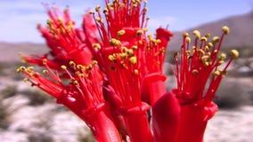 Borrego Desert California Ocotillo Cactus in Bloom - Close Up MIX. Borrego Desert California Ocotillo Cactus in Bloom - Close up Shot Mix - •Stu Edmondson stock video
