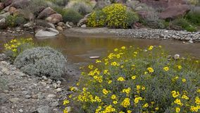 Borrego Springs Super Bloom. Field of Yellow Wildflowers in the Anza Borrego Desert State Park stock video