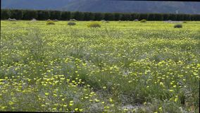Borrego Springs Super Bloom. Field of Yellow Wildflowers in the Anza Borrego Desert State Park stock footage