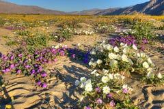 Borrego Springs. Very colorfull, blooming Anza Borrego Desert in California royalty free stock image