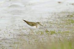 Borrelho de madeira que procurara pelo alimento em pantanais pantanosos Foto de Stock