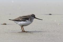 Borrelho de Terek que está em um Sandy Beach na primavera Fotografia de Stock Royalty Free