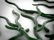 Borrelia burgdorferi Stock Images