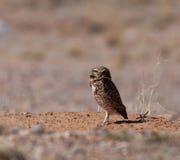 Borrowing Owl Royalty Free Stock Photography