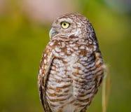 Borrowing Owl Athene cunicularia hypugaea looking left profile Stock Image