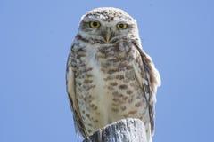 Borrowing Owl Stock Image