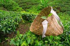 Borsa della raccoglitrice del tè con la foglia fresca sopra un cespuglio Fotografie Stock Libere da Diritti