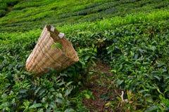 Borsa della raccoglitrice del tè con la foglia fresca sopra un cespuglio Immagine Stock
