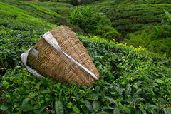 Borsa della raccoglitrice del tè sopra un cespuglio sulla piantagione di tè Fotografia Stock Libera da Diritti