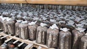 Borsa infettata della pagnotta del fungo di ostrica Immagini Stock