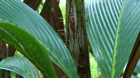 Borsigianum del Phoenicophorium in Vallee de Mai stock footage