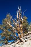 Borst-kotten sörjer trädet Arkivbilder