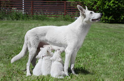 Borst - voedende hond met jongen Stock Afbeelding