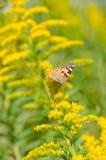 Borste-footed fjäril på goldenrod Arkivfoto