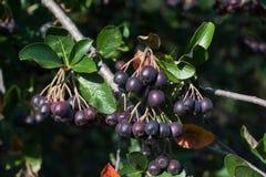 Borstechokeberry Royaltyfri Fotografi