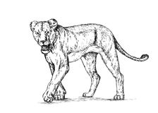 Borstel het schilderen de inkt trekt geïsoleerde leeuwillustratie Stock Fotografie