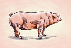 Borstel het schilderen de inkt trekt varkensillustratie Royalty-vrije Stock Fotografie