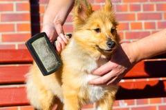 Borstel het verzorgen op een herdershond van Shetland royalty-vrije stock afbeelding