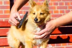 Borstel het verzorgen op een herdershond van Shetland royalty-vrije stock fotografie