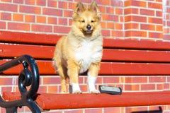 Borstel het verzorgen op een herdershond van Shetland royalty-vrije stock foto