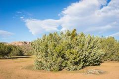 Borstel in Mojave-Woestijn Stock Foto
