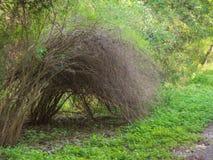 Borsteväxter i en frodig grön skog som växer i en båge, så att sluten trycker på jordningen royaltyfria bilder