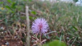 Borstlik blomma Arkivbild