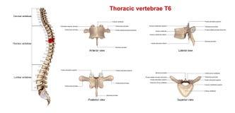 Borstruggewervels T6 stock illustratie
