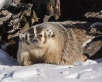Borsuk cieszy się zimnego Montana słońce Zdjęcie Stock