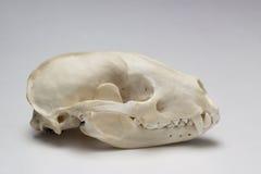 Borsuk czaszka Zdjęcia Royalty Free