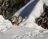 Borsuk między dwa snowbanks Obraz Royalty Free