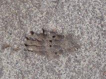 Borsuka ślad w popielatym piasku zdjęcie royalty free