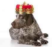 Bortskämd hund royaltyfria foton