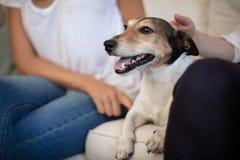 Bortskämd liten hund som tycker om en smekning på soffan arkivfoton