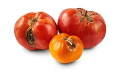 Bortskämda tomater som isoleras på vit bakgrund Arkivfoto