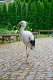 Borttappad härlig stork som går i en stad royaltyfri bild