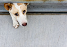 Borttappad hund bak ett staket Royaltyfria Bilder