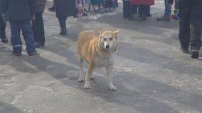 Borttappad röd hund med kragen som söker efter en värd i en folkmassa av folk stock video
