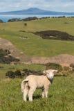 Borttappat lamm som tillbaka ser Royaltyfri Fotografi
