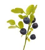 Borówka rozgałęzia się z jagodami Obrazy Royalty Free