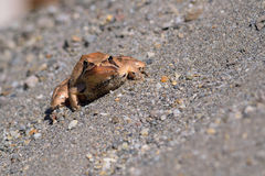 Borwn frog on grey sand. Light brown frog on grey sand chilling in warm sunshine close up Royalty Free Stock Image