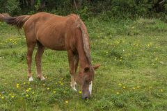 Borwn horse grazing on a grass field with small yellow flowers, in the Campeche, Florianopolis, Brazil royalty free stock photos