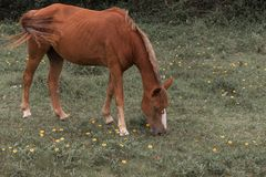 Borwn horse grazing on a grass field with small yellow flowers, in the Campeche, Florianopolis, Brazil stock photography