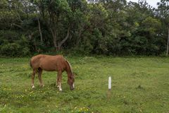 Borwn horse grazing on a grass field with small yellow flowers, in the Campeche, Florianopolis, Brazil royalty free stock image